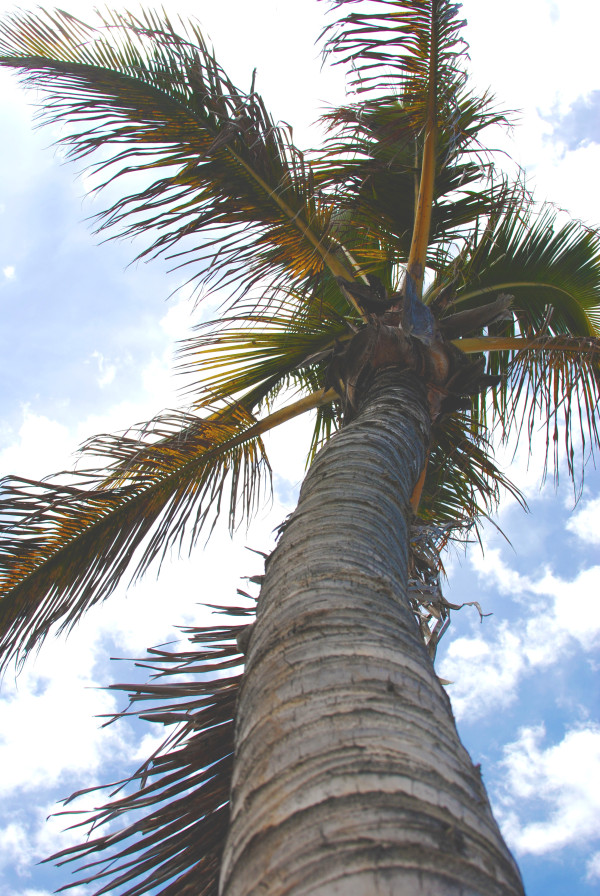 Palm Tree, Lanzarote