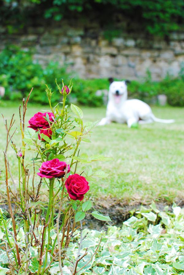 Roses, Garden, Whippet Dalmatian Cross