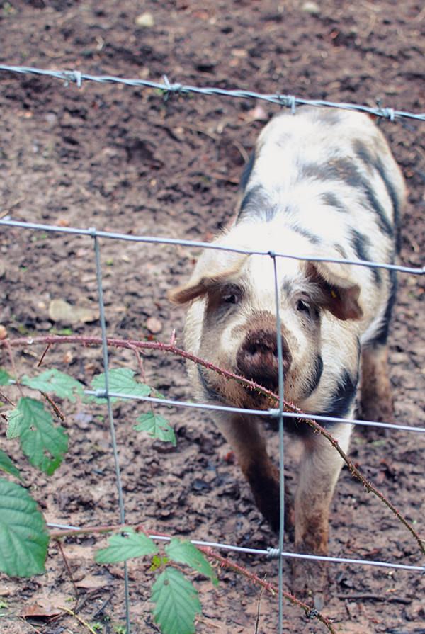 Cumbria Pigs